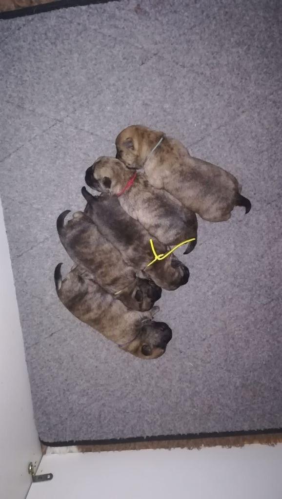 Ti Glaz Mor - Chiot disponible  - Cairn Terrier