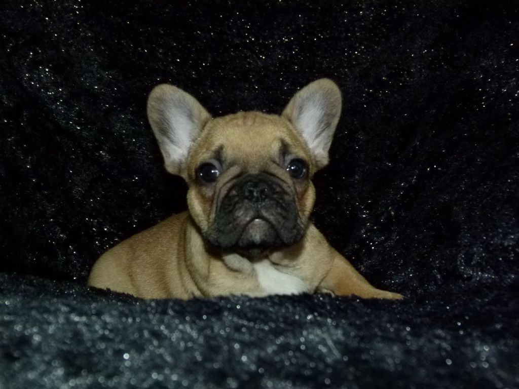 Du Domaine New World - Chiot disponible  - Bouledogue français