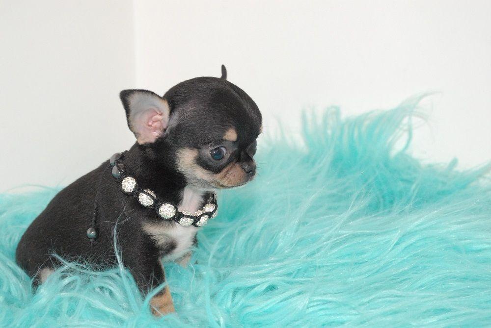 Du Hameau De Selcra - Chiot disponible  - Chihuahua