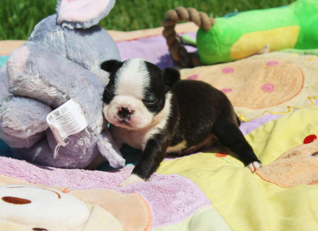 Des Terres De Frasnes - Chiot disponible  - Boston Terrier