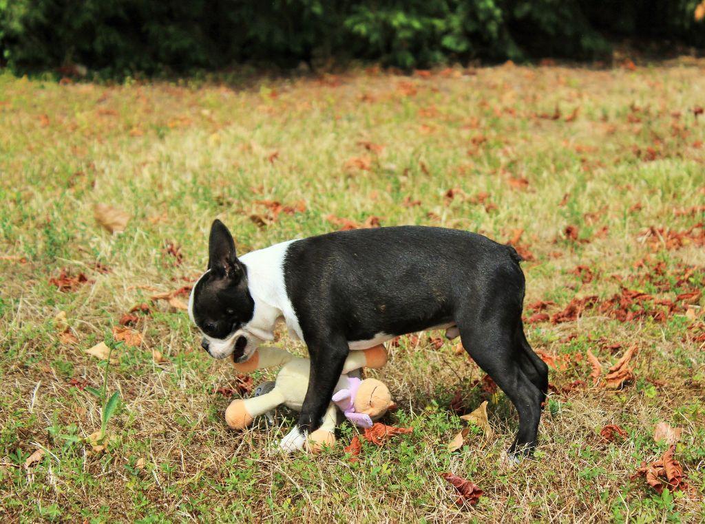 Des Terres De Frasnes - Chiot disponible  - Boston Terrier