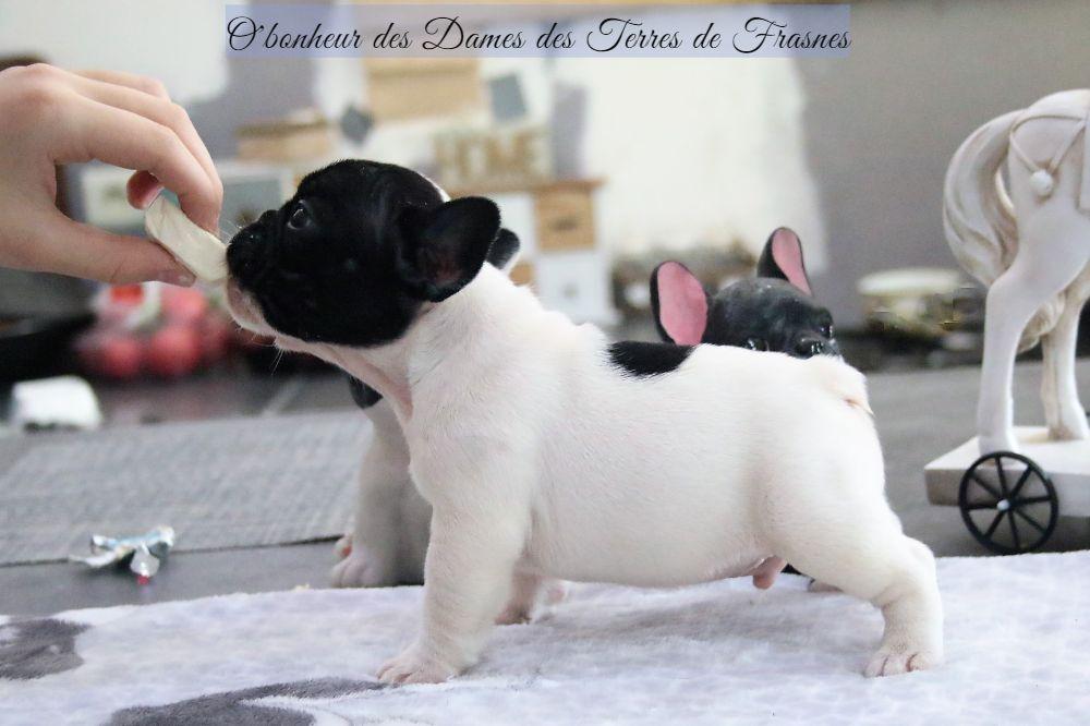 Des Terres De Frasnes - Chiot disponible  - Bouledogue français