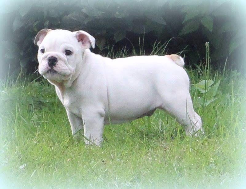 Des Bulljack Des Bestfriends - Chiot disponible  - Bulldog Anglais