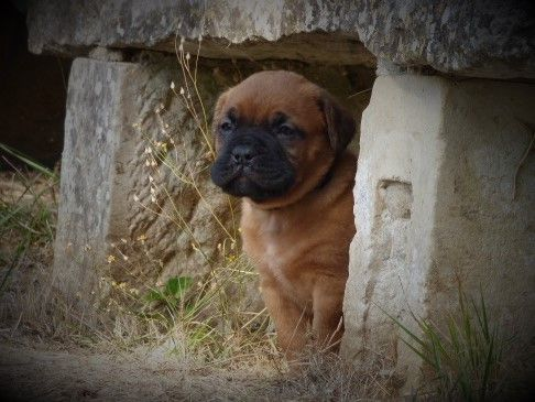 De L'acajou Dogue - Chiot disponible  - Dogue de Bordeaux