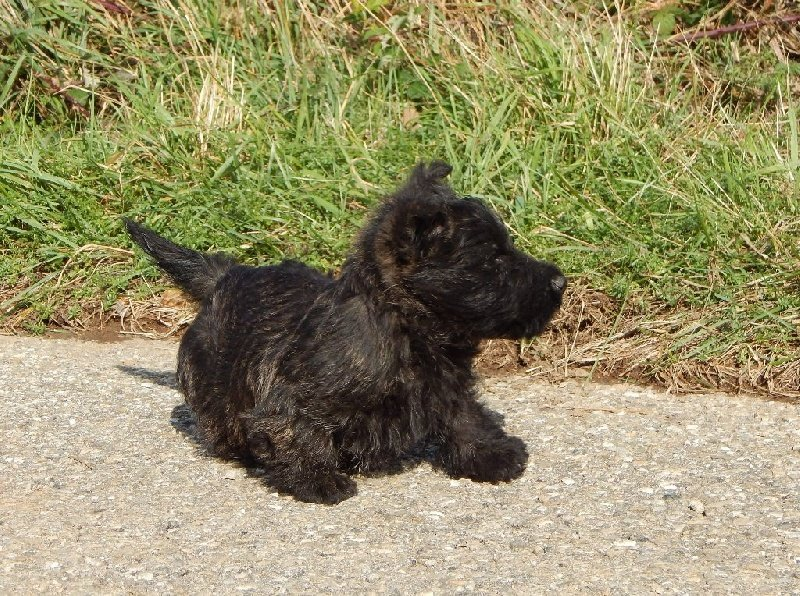 chiot elevage du domaine louchine eleveur de chiens scottish terrier. Black Bedroom Furniture Sets. Home Design Ideas
