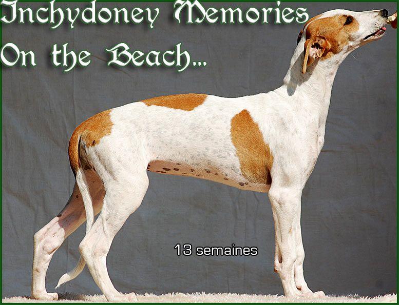 Inchydoney Memories - Chiot disponible  - Greyhound
