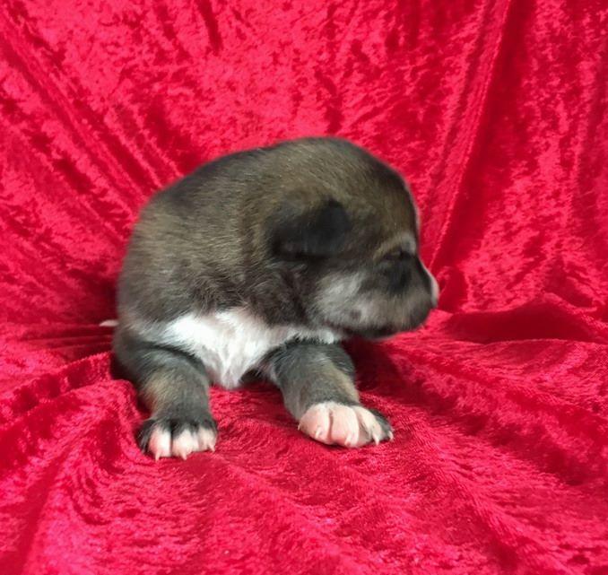 NICK - Siberian Husky