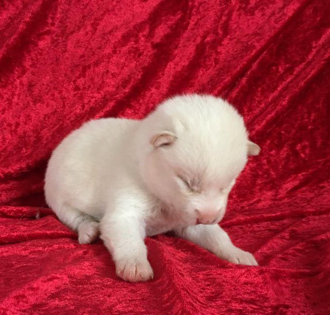 NINA - Siberian Husky