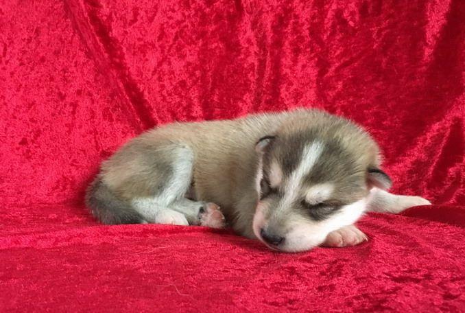 NESQUICK - Siberian Husky