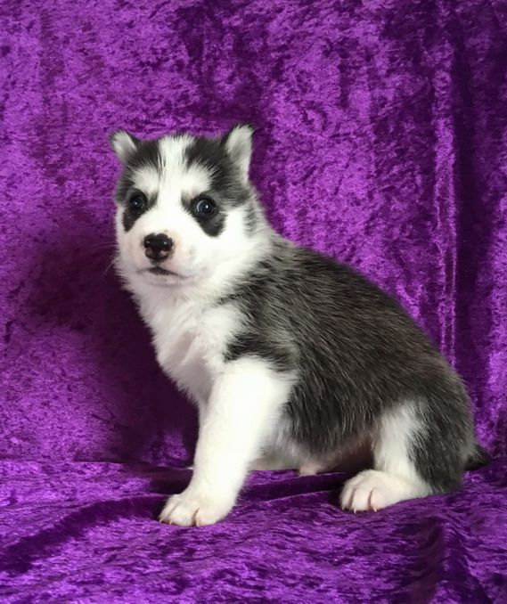 NEIKO - Siberian Husky