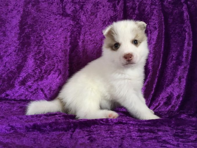 NOUGAT - Siberian Husky