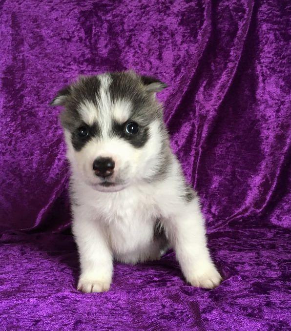 NEMO - Siberian Husky