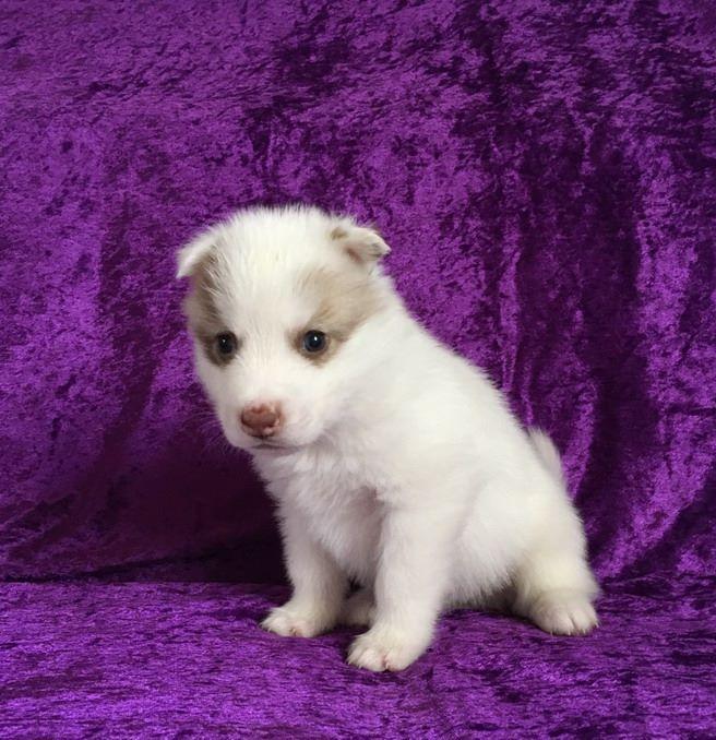 CHIOT - Siberian Husky