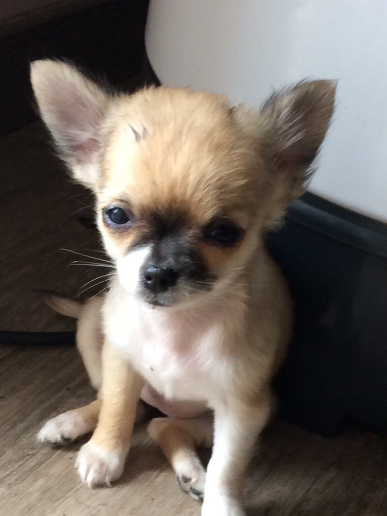 Du Val Gauthier - Chiot disponible  - Chihuahua