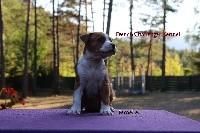 French Challenger - American Staffordshire Terrier - Portée née le 13/07/2017