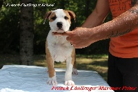 French Challenger - American Staffordshire Terrier - Portée née le 06/07/2016