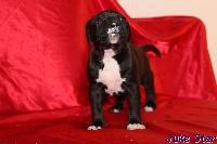 French Challenger - American Staffordshire Terrier - Portée née le 27/10/2014