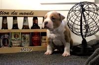 French Challenger - American Staffordshire Terrier - Portée née le 13/03/2020