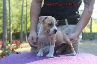French Challenger - American Staffordshire Terrier - Portée née le 07/07/2017