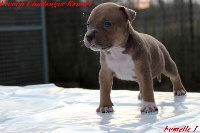 French Challenger - American Staffordshire Terrier - Portée née le 19/06/2015