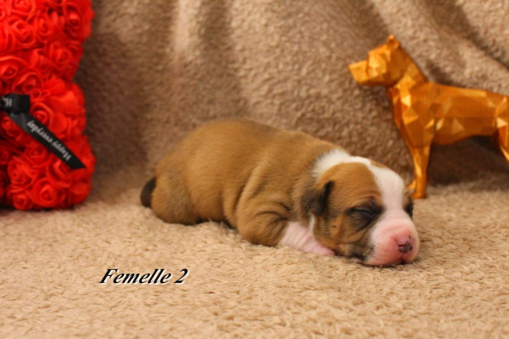 French Challenger - Chiot disponible  - American Staffordshire Terrier