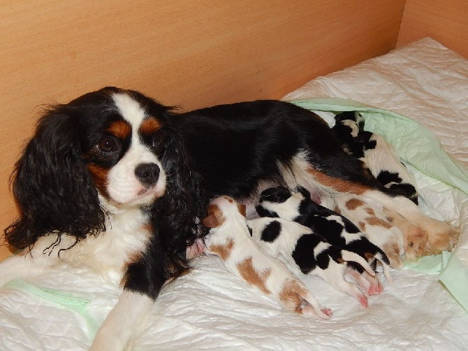 club de race cavalier king charles france