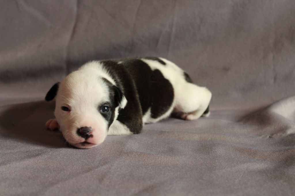 De Staffy Good Choice - Chiot disponible  - Staffordshire Bull Terrier