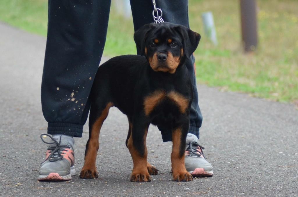 Des Titans Noirs Et Feux - Chiot disponible  - Rottweiler