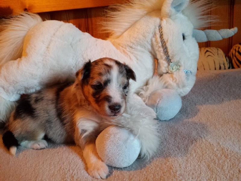 Chiot Shetland Sheepdog, MEEKO, mâle disponible en