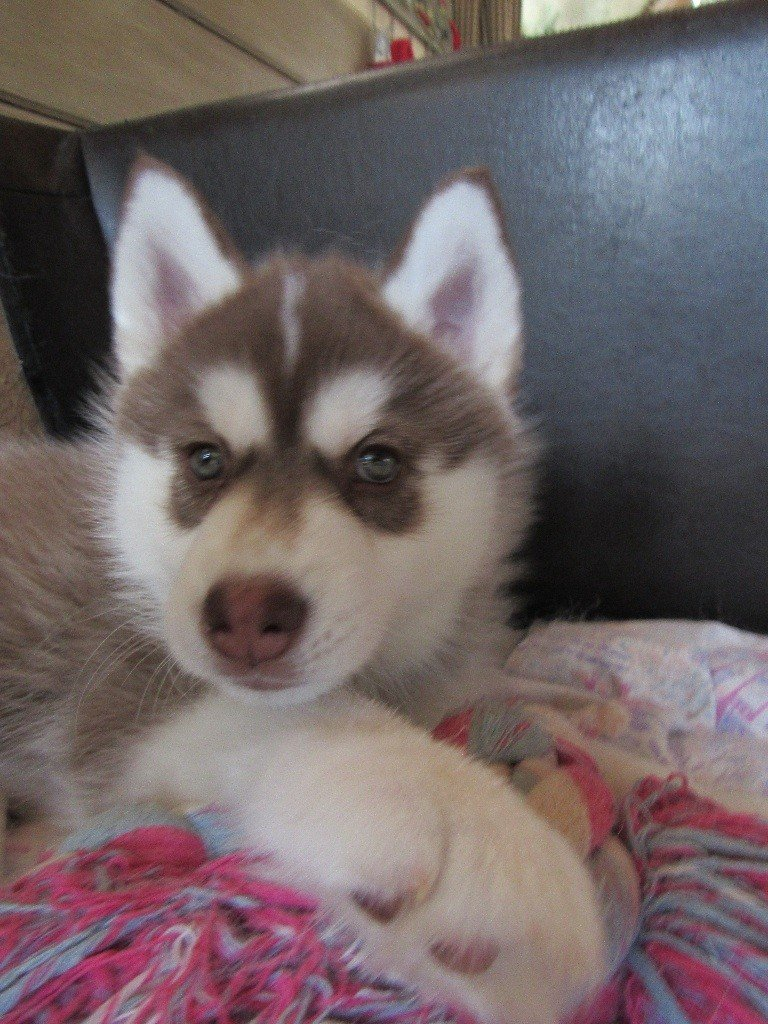POWER - Siberian Husky