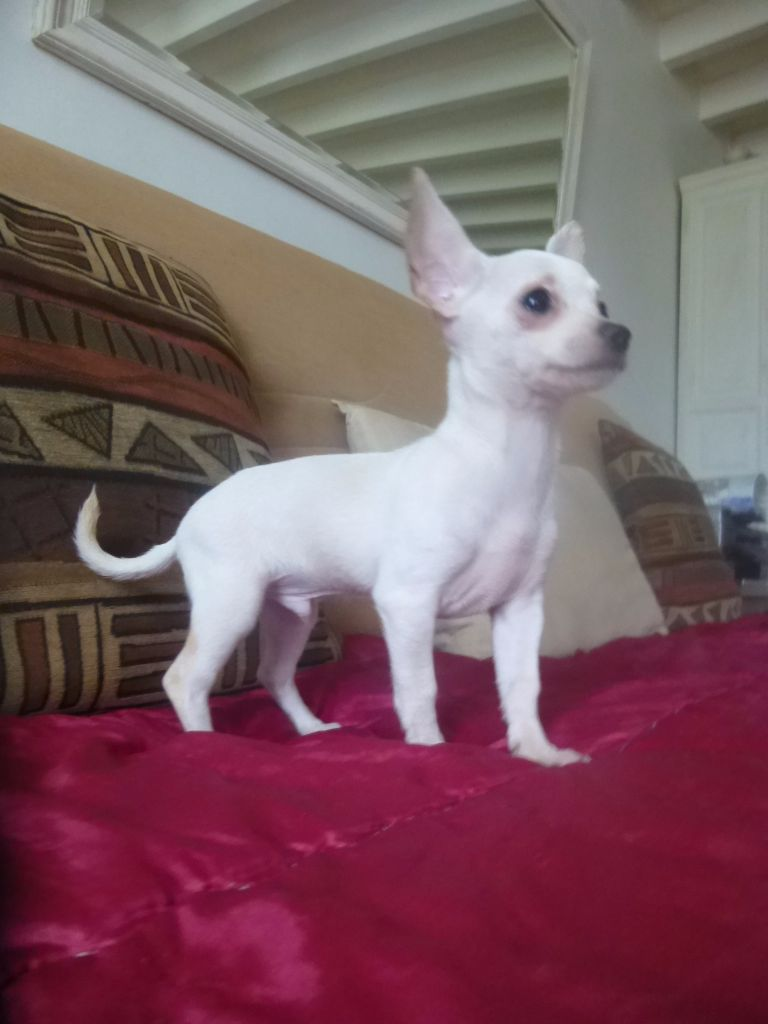 chihuahua chat sites Ok chi people, i have made a chat room for all of us to use, if you guys want to,thanks baileysmommie it is a very cool idea, so i went a head and did.