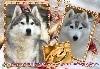 - Voici les 3 p'tits loups de Masha et Swan sont arrivés le 30 mars 2019