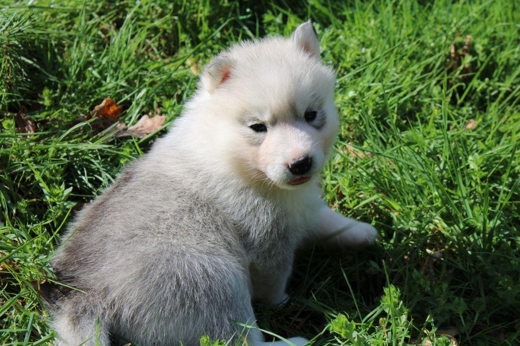 Of Moonlight's Rhapsody - Chiot disponible  - Siberian Husky