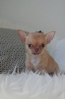 Apple Of Love - Chihuahua - Portée née le 07/09/2017