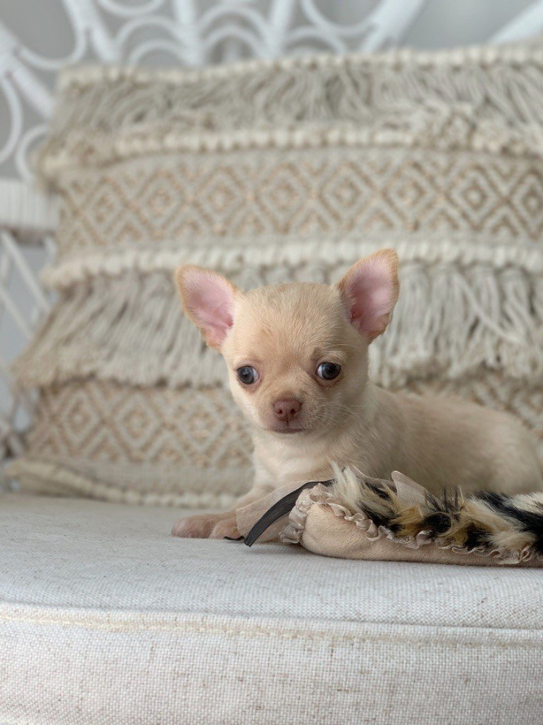 Apple Of Love - Chiot disponible  - Chihuahua