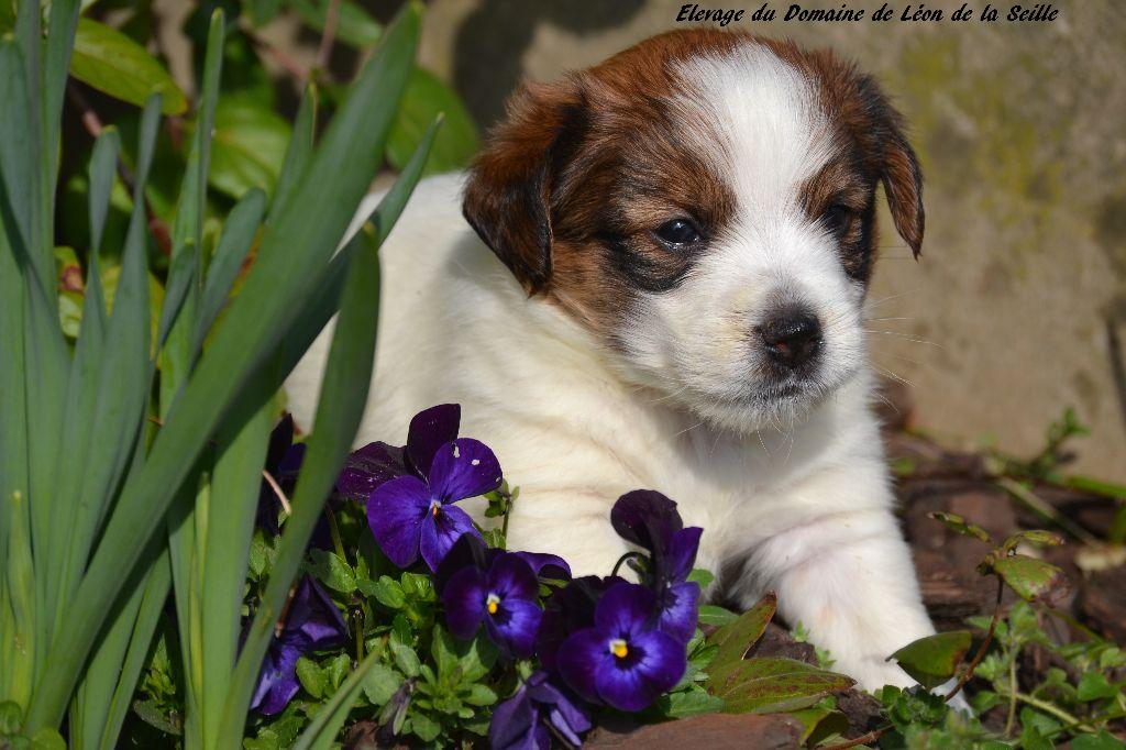 Number One Delphi du Domaine de Léon de la Seille - Jack Russell Terrier