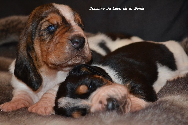 chiot elevage du domaine de l on de la seille eleveur de chiens basset hound. Black Bedroom Furniture Sets. Home Design Ideas