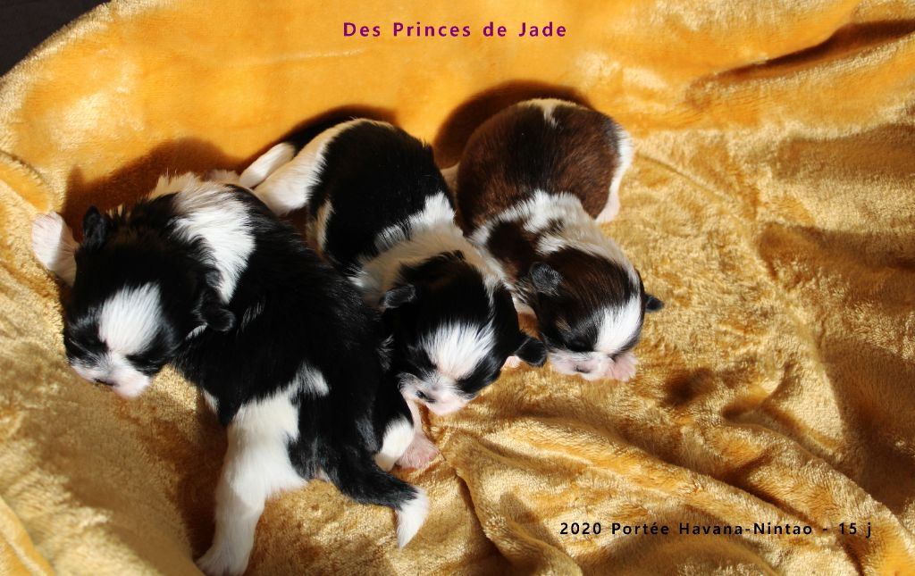 Des Princes De Jade - 2020 Portée Havana - Nintao