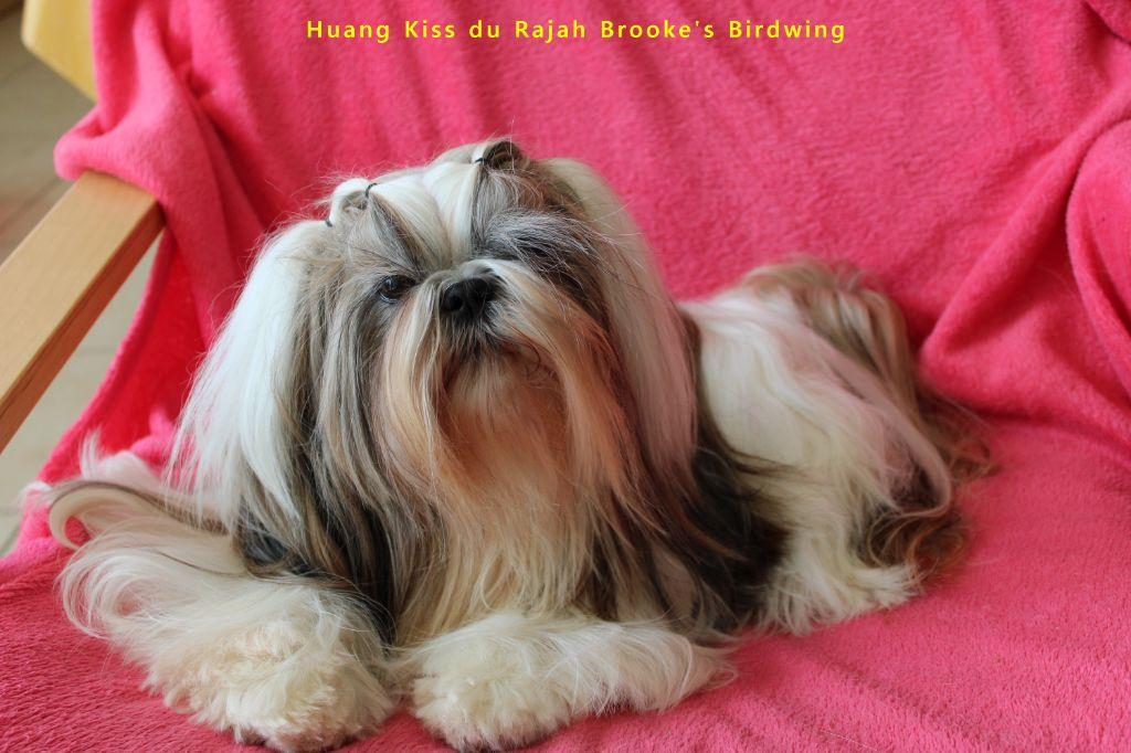 Huang kiss dite havana du Rajah Brooke's Birdwing