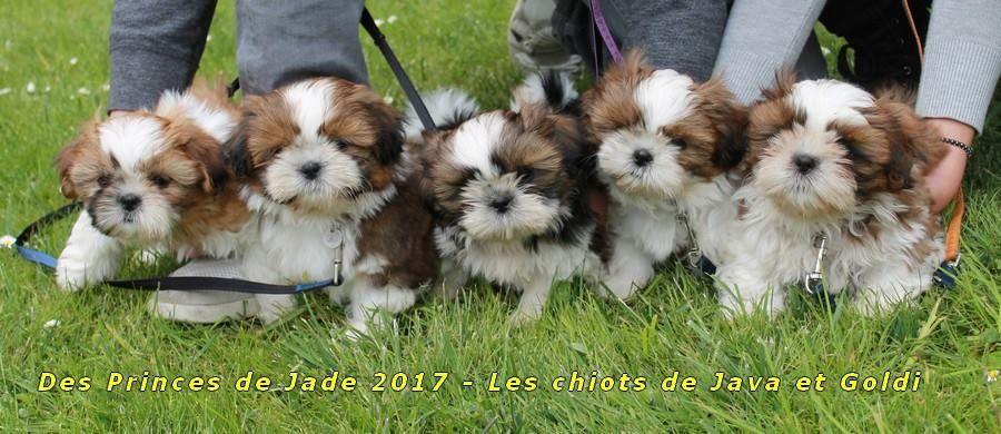 Des Princes De Jade - Shih Tzu - Portée née le 20/02/2017