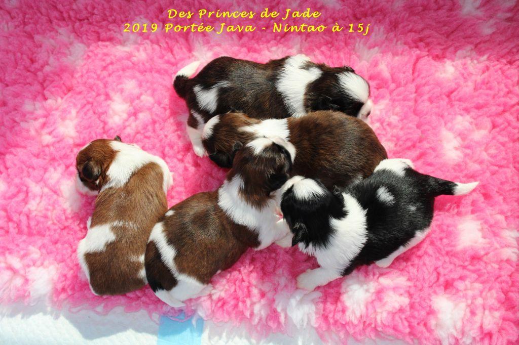 Des Princes De Jade - Shih Tzu - Portée née le 09/05/2019