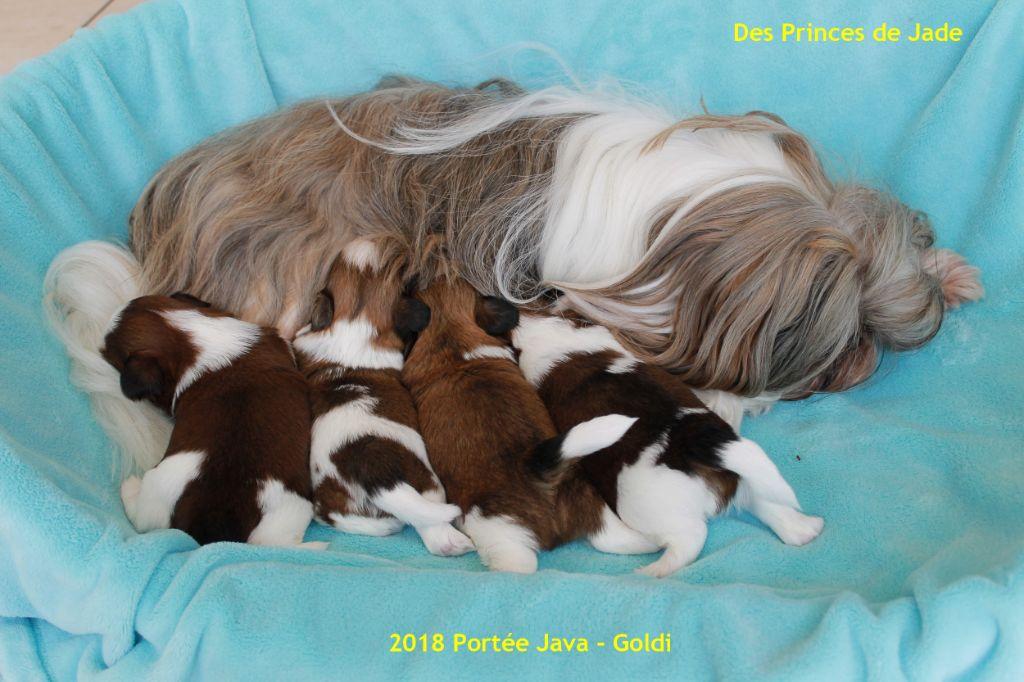 Des Princes De Jade - Shih Tzu - Portée née le 09/08/2018