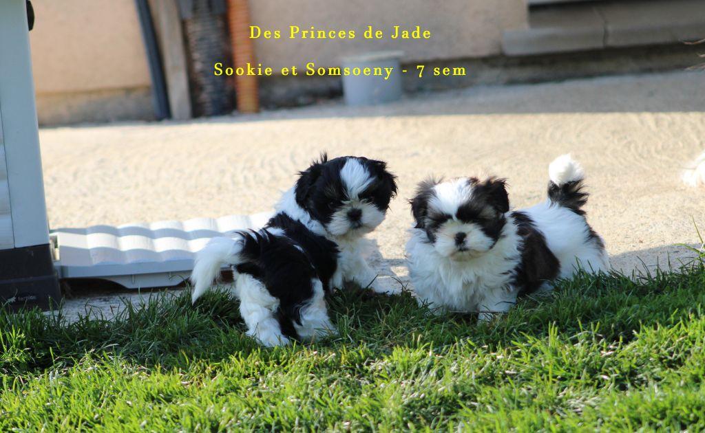 Des Princes De Jade - Shih Tzu - Portée née le 18/02/2021