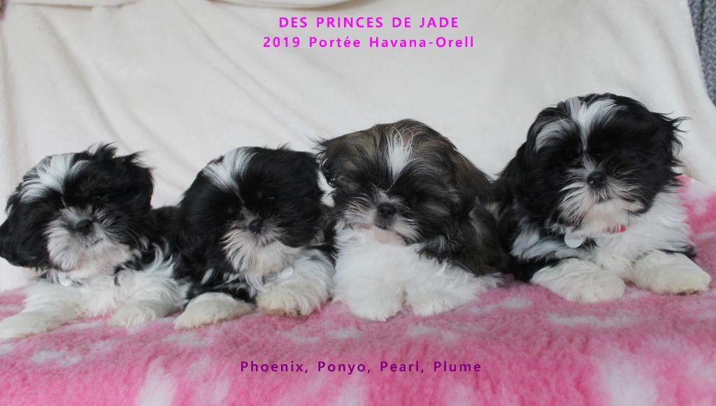 Des Princes De Jade - Shih Tzu - Portée née le 30/10/2019