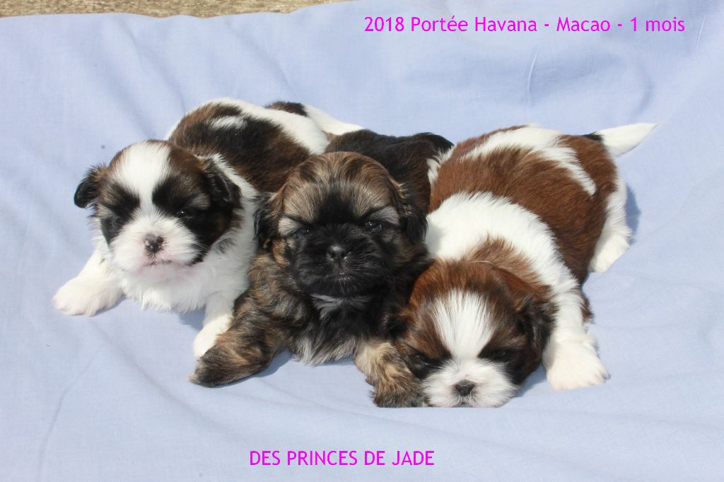 Des Princes De Jade - Shih Tzu - Portée née le 28/03/2018