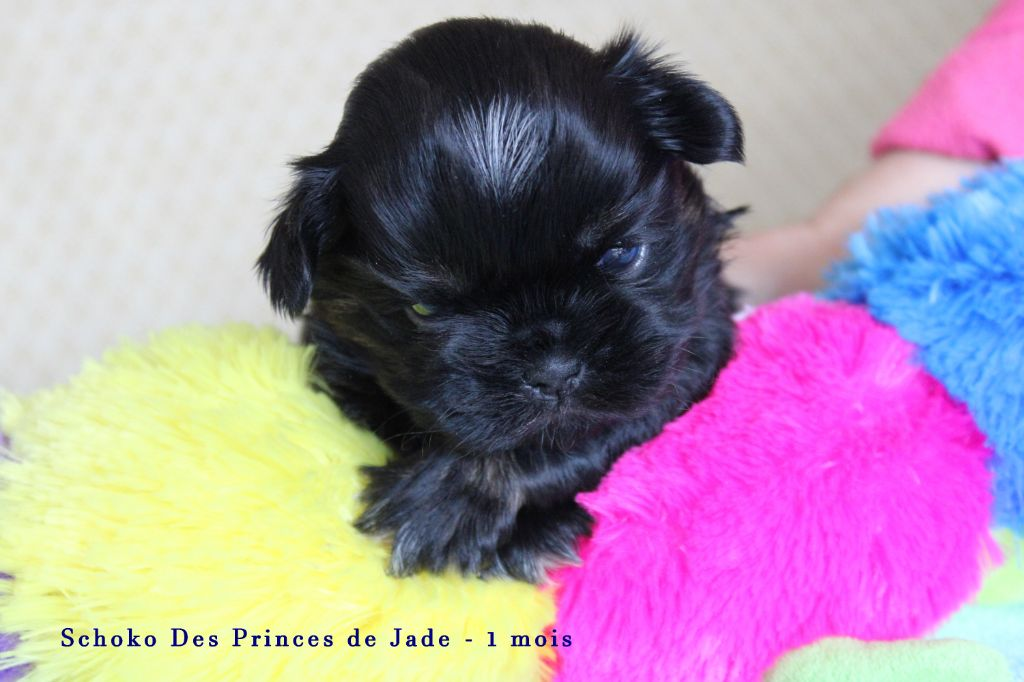 Des Princes De Jade - Chiot disponible  - Shih Tzu