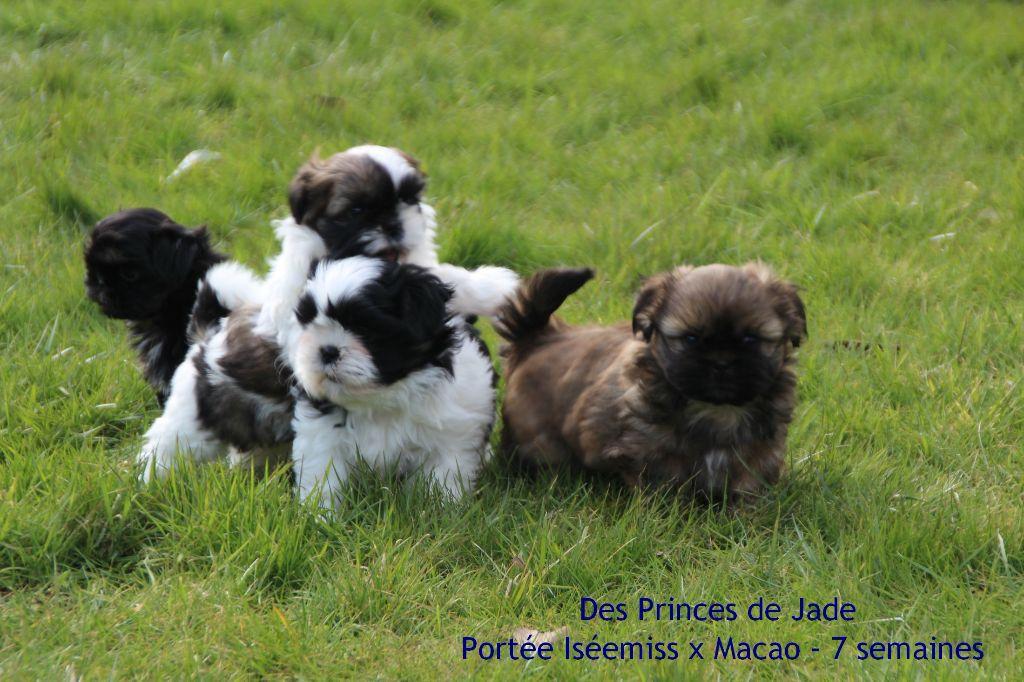 Des Princes De Jade - Shih Tzu - Portée née le 16/01/2018
