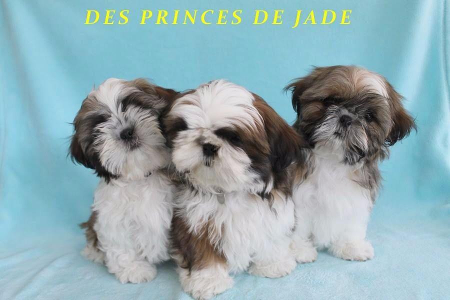 Des Princes De Jade - Shih Tzu - Portée née le 02/05/2017