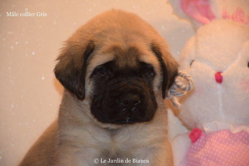 Chiot Mastiff, mâle disponible en Wallonie, Hainaut
