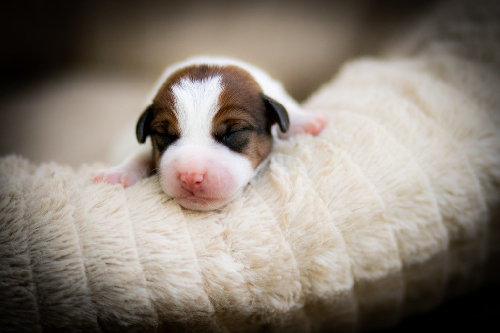 du bois de compiègne - Chiot disponible  - Jack Russell Terrier
